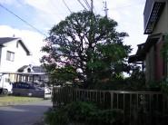 梅の木 剪定後